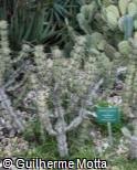 Euphorbia coerulescens