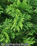 Thuja occidentalis ´Smaragd´
