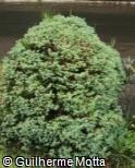 Cryptomeria japonica ´Globosa Nana´