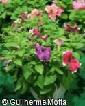 Petunia × hybrida ´Burgundy Picotee´