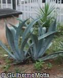Agave americana subsp. protoamericana