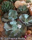 Echeveria gibbiflora ´County Fair´