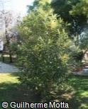 Nerium oleander ´Mrs. Rouge´