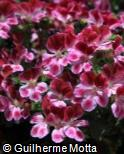 Pelargonium x hortorum ´Tip Top Duet´