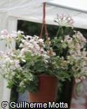 Pelargonium peltatum ´White Compact Cascade´