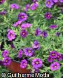 Calibrachoa  ´Superbells Imperial Purple´
