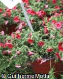 Calibrachoa  ´Noa Red´