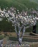 Magnolia × soulangeana ´Lennei Alba´