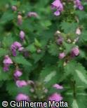 Lamium maculatum ´Roseum´