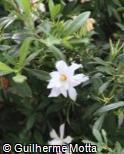 Gardenia jasminoides ´Radicans´