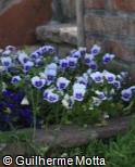 Viola × wittrockiana ´Delta Light Blue Blotch´