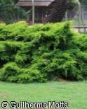 Juniperus × media ´Old Gold´
