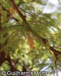 Prosopis alba