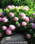 Hydrangea macrophylla ´Bouquet Rose´