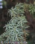 Taxus baccata ´Fastigiata´