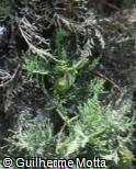 Cupressus lusitanica