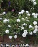 Verbena hybrida ´Aztec White´