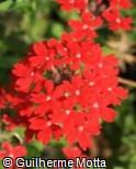 Glandularia peruviana ´Red Devil´