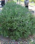 Polygala myrtifolia ´Grandiflora´