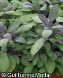 Salvia officinalis ´Purpurascens´