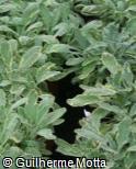 Salvia officinalis ´Aurea´
