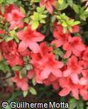 Rhododendron  ´Addy Wery´