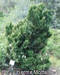 Chamaecyparis obtusa ´Nana-Gracilis´