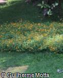 Sanvitalia procumbens