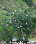 Hibiscus rosa-sinensis ´Simone´