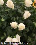Rosa x grandiflora ´Boeing´