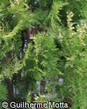 Thuja occidentalis ´Emeraud´