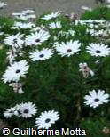 Osteospermum ecklonis ´Jamboana Landscape White´