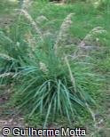 Poa iridifolia
