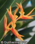 Heliconia  ´Baby Flame´