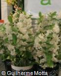 Dendrobium nobile ´Apple Blossom´