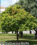 Citrus reticulata ´Ponkan´