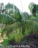 Dypsis onilahensis