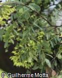 Dalbergia miscolobium