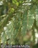 Mimosa regina