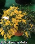 Cytisus maderensis