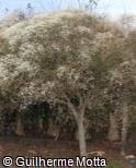 Euphorbia leucocephala