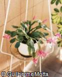 Abrir ficha do item Schlumbergera truncata