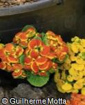 Calceolaria  ´Dainty Red & Yellow´
