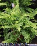 Nephrolepis exaltata ´Green Lady´