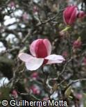 Magnolia × soulangeana ´Lennei´