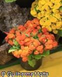 Calceolaria  ´Dainty Bronze´