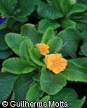 Primula x polyantha ´Danova Yellow With Eye´