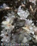 Magnolia × soulangeana ´Brozzonii´