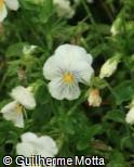Viola x wittrockiana ´Cats White´
