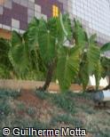 Philodendron speciosum